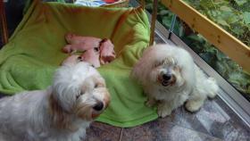 Foto 2 4 COTON de Tuléarwelpen(Baumwollhund)1 Weib.3 Rü.suchen ein neues zu Hause
