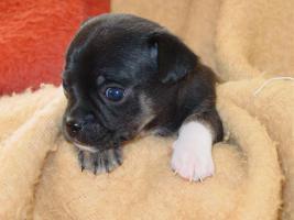 Foto 2 4 Chihuahua Welpen suchen neues Wirkungsfeld