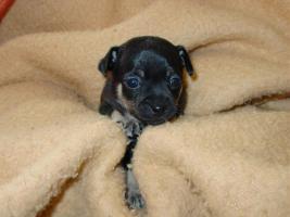 Foto 3 4 Chihuahua Welpen suchen neues Wirkungsfeld
