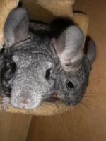 Foto 2 4 Chinchilla-Weibchen suchen ein neues Zuhause