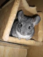 Foto 3 4 Chinchilla-Weibchen suchen ein neues Zuhause