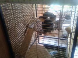 Foto 2 4 Chinchillas mit grossem Käfig
