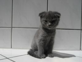 4 Katzen (Mischlinge Karthäuser(Scottish Fold)/Halbperser)