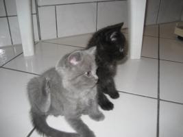 Foto 2 4 Katzen (Mischlinge Karthäuser(Scottish Fold)/Halbperser)