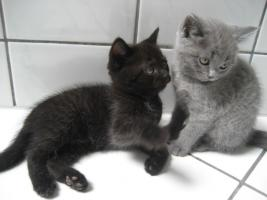 Foto 3 4 Katzen (Mischlinge Karthäuser(Scottish Fold)/Halbperser)