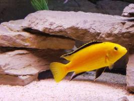 4 Labidochromis Yellows Zuchtgruppe