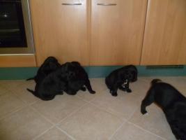 4 Labrador-münsterländer Welpen