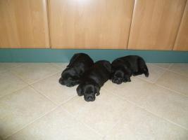 Foto 2 4 Labrador-münsterländer Welpen