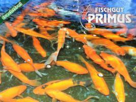 4 Laichgoldfische - Größe 15-20 cm