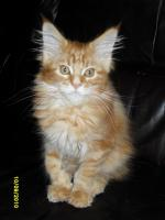 Foto 4 4 Maine Coon Katerchen..