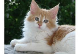 4 Maine Coon Kitten sind bereit zur Abgabe