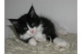 Foto 4 4 Maine Coon Kitten sind bereit zur Abgabe