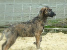 Foto 2 4 Mon. alter Irish Wolfhoundrüde (Traumtyp) sucht noch seine passende Familie