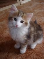 4 Norwegische Waldkatzen Kitten suchen ein zu hause