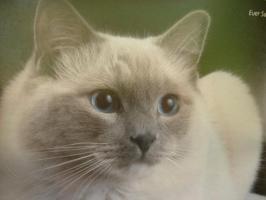 4 Radoll Britisch Shorthair Mischlinge abzugeben