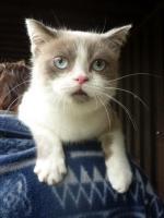 Foto 4 4 Radoll Britisch Shorthair Mischlinge abzugeben