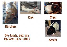 4 Ratten Männchen ODER Weibchen abzugeben