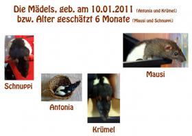 Foto 2 4 Ratten Männchen ODER Weibchen abzugeben