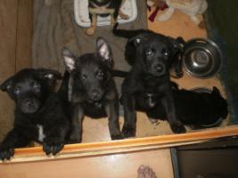 4 Rottweiler-Schäferhund Welpen