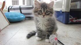 4 Sibirische Katzenkitten, weibl.  9,5 Wochen zu verkaufen