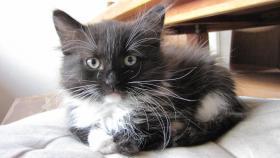 Foto 2 4 Sibirische Katzenkitten, weibl.  9,5 Wochen zu verkaufen