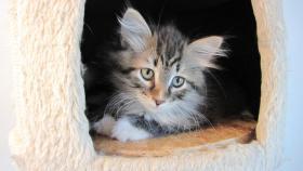 Foto 3 4 Sibirische Katzenkitten, weibl.  9,5 Wochen zu verkaufen