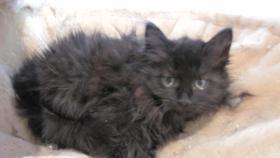 Foto 4 4 Sibirische Katzenkitten, weibl.  9,5 Wochen zu verkaufen