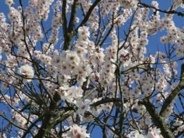 Mandelblüten in der Südpfalz