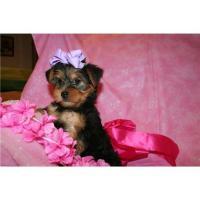 Foto 2 4 Süße Yorkshire terrier Welpen MINI ! ! ! !