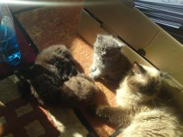 Foto 3 4 Supersüße Perserkaterchen (MIT NASE) suchen liebevolles zuhause