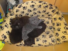 Foto 4 4 Supersüße Perserkaterchen (MIT NASE) suchen liebevolles zuhause