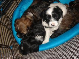 4 Tibet Terrier Welpen(Rüden)