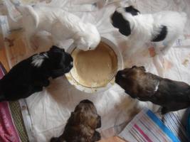 Foto 6 4 Tibet Terrier Welpen(Rüden)