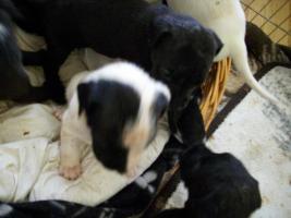 Foto 4 4 Wochen alte Labrador Boxer Welpen abzugeben