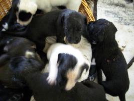Foto 5 4 Wochen alte Labrador Boxer Welpen abzugeben