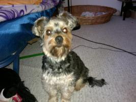 Foto 3 4 Yorkier Terrier suchen Dosenöffner