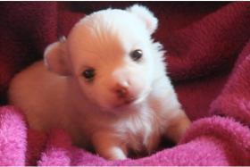 4 Zuckersüße- Typvolle- Chihuahua-Welpen -LH / KHverschiedene Farben