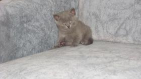 Foto 2 4 bkh kitten
