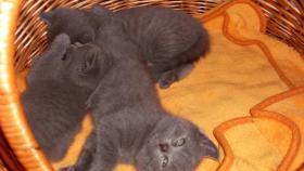 Foto 4 4 bkh kitten