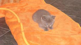 Foto 5 4 bkh kitten