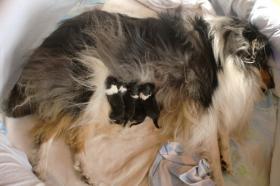 Foto 4 4 englische Collie-Welpen (Langhaar ) erblickten am 01.12.2011 die Welt
