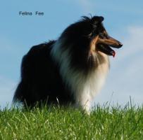 Foto 6 4 englische Collie-Welpen (Langhaar ) erblickten am 01.12.2011 die Welt