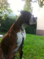 Foto 5 4-jährige Boxerhündin dringend abzugeben!