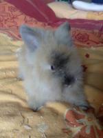 Foto 2 4 kleine Teddyzwergkaninchenmixe