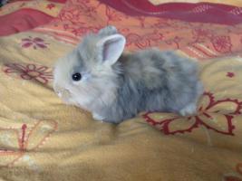 Foto 4 4 kleine Teddyzwergkaninchenmixe