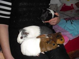 4 liebenswerte Meerschweinchen suchen neues Zuhause