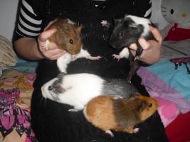 Foto 2 4 liebenswerte Meerschweinchen suchen neues Zuhause