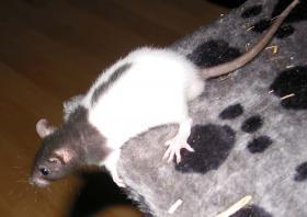 Foto 4 4 männliche Ratten, 9 Wochen alt