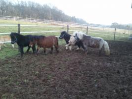 4 ponys zu verkaufen
