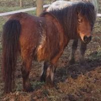 Foto 5 4 ponys zu verkaufen